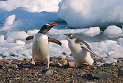 Gentoo penguin chick chasing the adult to get feed. Since gentoo penguins can have more than one chick the run and the chicks give chase usually the most hungry chick running the fastest so it gets feed next.