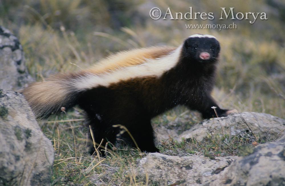 Patagonian Skunk ( Conepatus sp ) , Magallanes , Chile Image by Andres Morya
