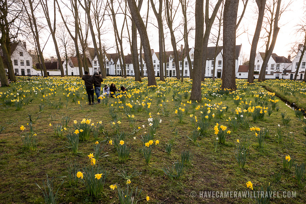 Spring daffodils bloom in the large garden courtyard of the historic Beguinage in Bruges, Belgium. The courtyard is surrounded by houses that make a community for lay sisterhoods of the Roman Catholic Church, religious women who sought to serve God without retiring from the world as in a Convent.