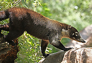 White-nosed Coati (Nasua narica) walking.  Rainforest, Rincon de la Vieja National Park, Costa Rica. <br />