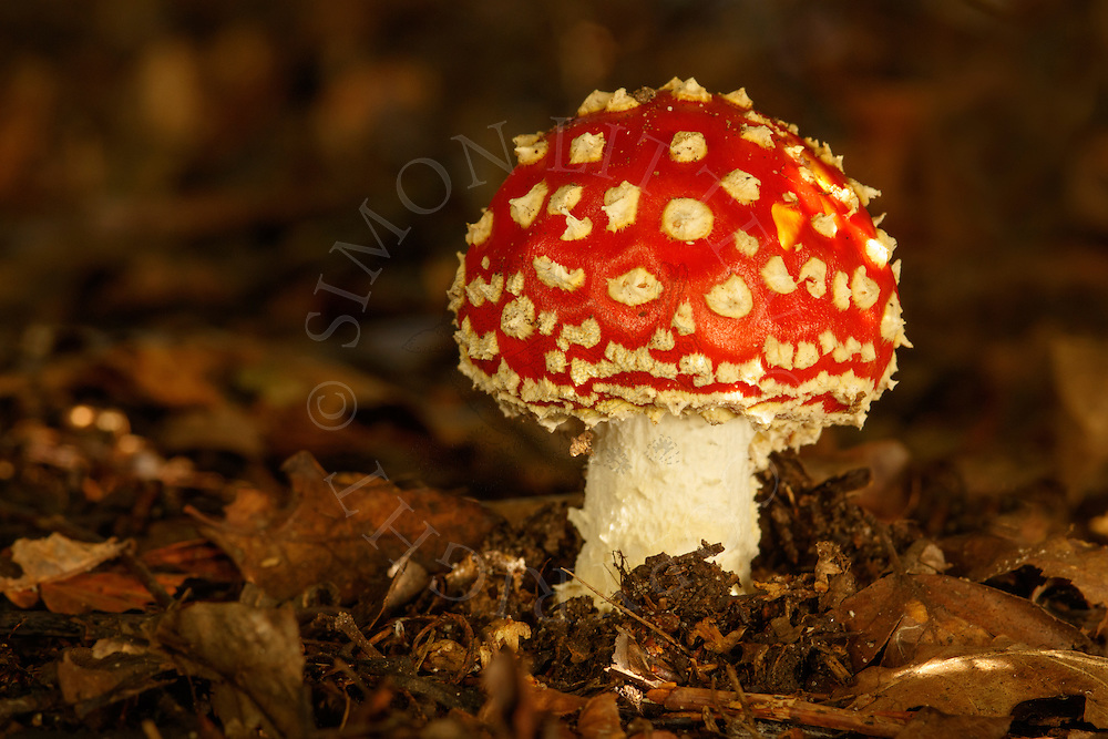 Fly Agaric (Amanita muscaria) fruiting body, growing amongst leaf litter in woodland, Norfolk, UK.