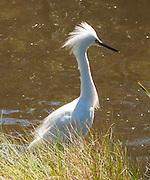 Snowy Egret (Egretta thula) are a smaller white heron which can display a feather head plume. Assateague Island is within Chincoteague National Wildlife Refuge, in the Atlantic Ocean off the coast of the Virginia Eastern Shore, USA, and can be reached by road from Chincoteague Island via a bridge over Assateague Channel.