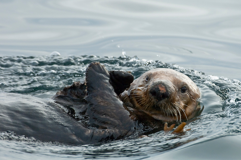 A sea otter, Enhydra lutris, rests on the surface of the Inside Passage, Vancouver Island, British Columbia, Canada