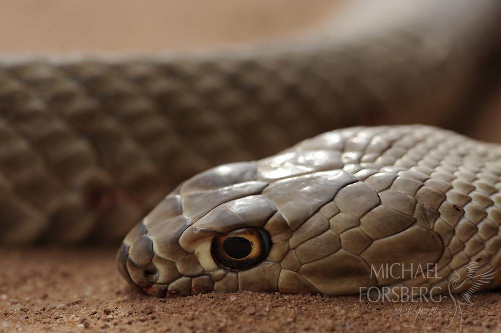 Coachwhip snake -Dead snake on road.