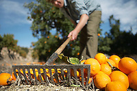 Farmer raking oranges on ground close-up surface level view