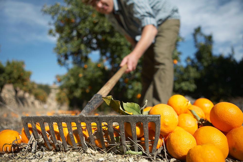 Farmer raking oranges on ground close-up surface level view