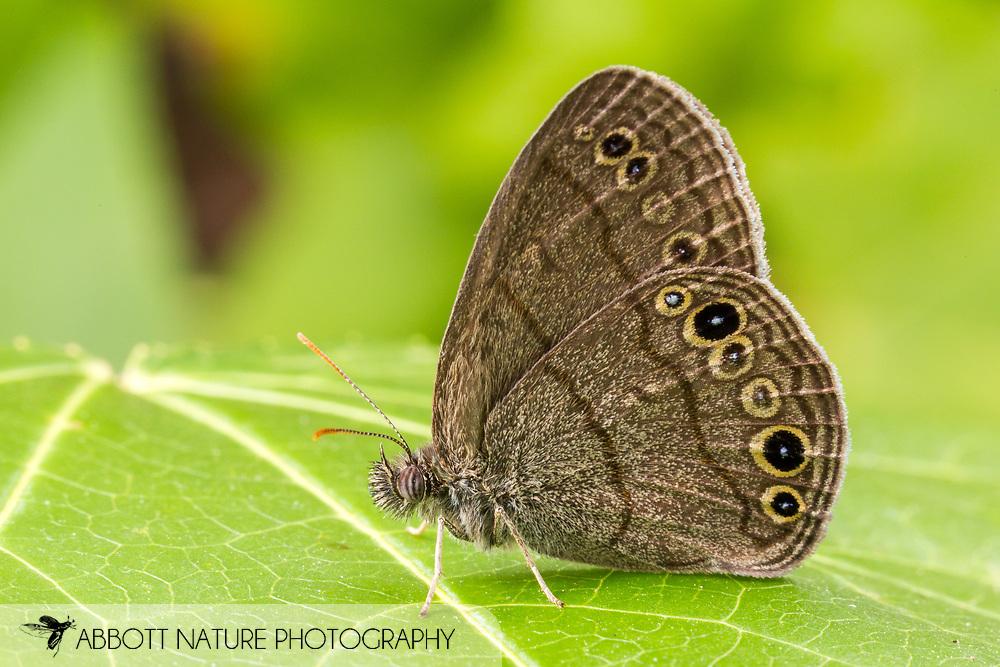 Carolina Satyr - Hodges#4575 (Hermeuptychia sosybius)<br /> United States: Alabama: Tuscaloosa Co.<br /> Tulip Tree Springs off Echola Rd.; Elrod<br /> 1-Jul-2016<br /> J.C. Abbott #2842 &amp; K.K. Abbott