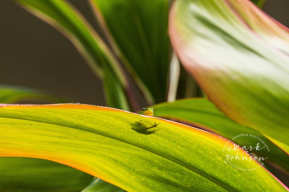 Dwarf green tree frog on a cordyline (ti) leaf, Brisbane, Queensland, Australia