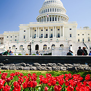 US Capitol Building with spring tulips and clear blue sky