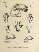 hand sketch of various mammal skulls of Argentina, Chile, Bolivia and Peru. From the book 'Voyage dans l'Amérique Méridionale' [Journey to South America: (Brazil, the eastern republic of Uruguay, the Argentine Republic, Patagonia, the republic of Chile, the republic of Bolivia, the republic of Peru), executed during the years 1826 - 1833] 4th volume By: Orbigny, Alcide Dessalines d', d'Orbigny, 1802-1857; Montagne, Jean François Camille, 1784-1866; Martius, Karl Friedrich Philipp von, 1794-1868 Published Paris :Chez Pitois-Levrault et c.e ... ;1835-1847