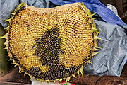 Sunflower seeds in a sunflower. Photographed at Lijiang, Yunnan, China
