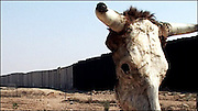 A bull's skull marks the fortified border between Egypt and Gaza. Israel built this wall when they pulled out of the Sinai in 1982.