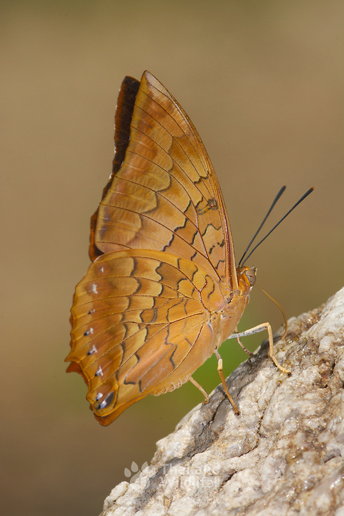 The Scarce Tawny Rajah (Charaxes aristogiton) is a butterfly species found in Asia that belongs to the Rajahs and Nawabs group, that is, the Charaxinae group of the Brush-footed butterflies family.