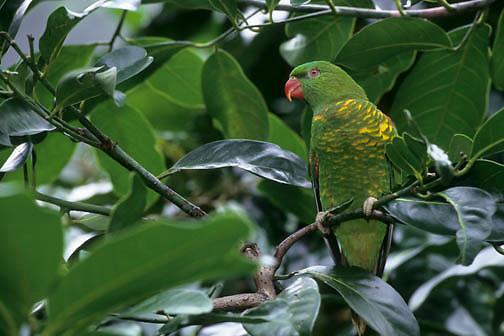 Scaly-breasted Lorikeet (Trichoglossus chloroepidotus) in Eastern Australia.