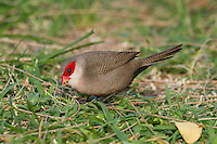 Common Waxbill photo Hawaii