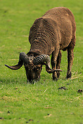 An arapawa sheep grazes on a South Island New Zealand farm