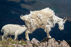 A mountain goat nanny (Oreamnos americanus), also known as the Rocky Mountain goat nurses its kid on the slope of Byers Peak. Mountain goats are protected from harsh winter elements with their wooly double coats. Their undercoats of fine, dense wool is covered any an outer layer of longer, hollow hairs. In the spring, mountain goats molt rubbing their hair against bushes, trees and rocks to shed the thick wool during the warmer months. Mountain goats are herbivores spending most of their time grazing on grasses, plants and shrubs of their alpine habitat.