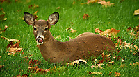 Lazy Deer in my backyard. Autumn nature in New Jersey. Image taken with a Nikon D4 camera and 80-400 mm VRII lens (ISO 1600, 400 mm, f/5.6, 1/200 sec)