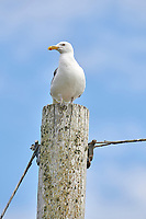 Herring Gull (Larus argentatus) perched on a post at Crescent Beach, Nova Scotia, Canada