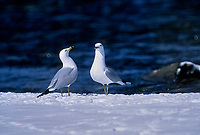 Ring-billed Gull (Larus delawarensis), Fish Creek Provincial Park, Calgary, Alberta, Canada - Photo: Peter Llewellyn