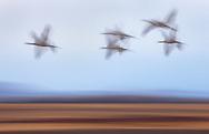 Sandhill Cranes, San Luis Valley