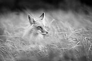 Fox in Tall Grass, Prince Edward Island National Park