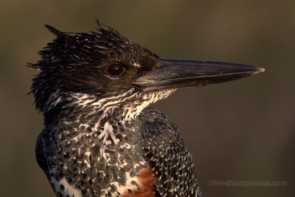 Giant Kingfisher, Megaceryle maxima, head, portrait, South Africa, by Markus Lilje