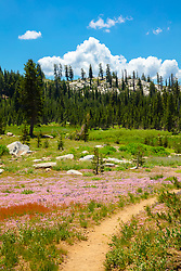 """Wildflowers in the Tahoe Back Country 7"" - Photograph of some wildflowers along a hiking trail in the Tahoe area back country, somewhat near Castle Peak."