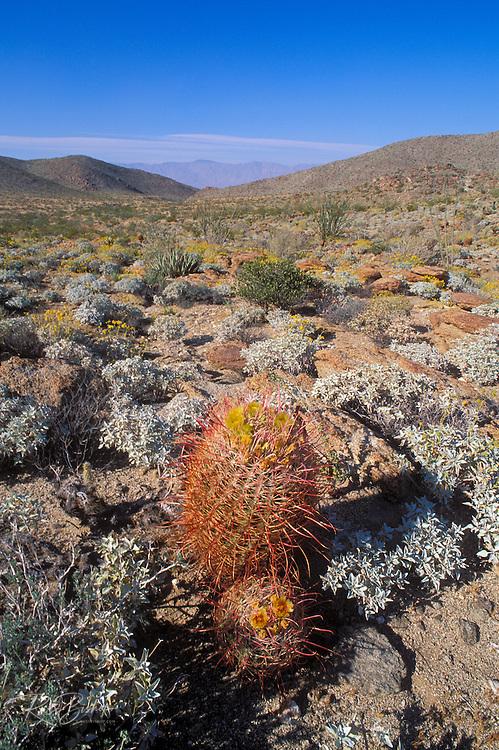 Barrel Cactus in bloom on Yaqui Pass, Anza-Borrego Desert State Park, California
