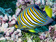 Royal angelfish-Poisson-ange royal (Pygoplites diacanthus), Rangiroa atoll, French Polynesia.