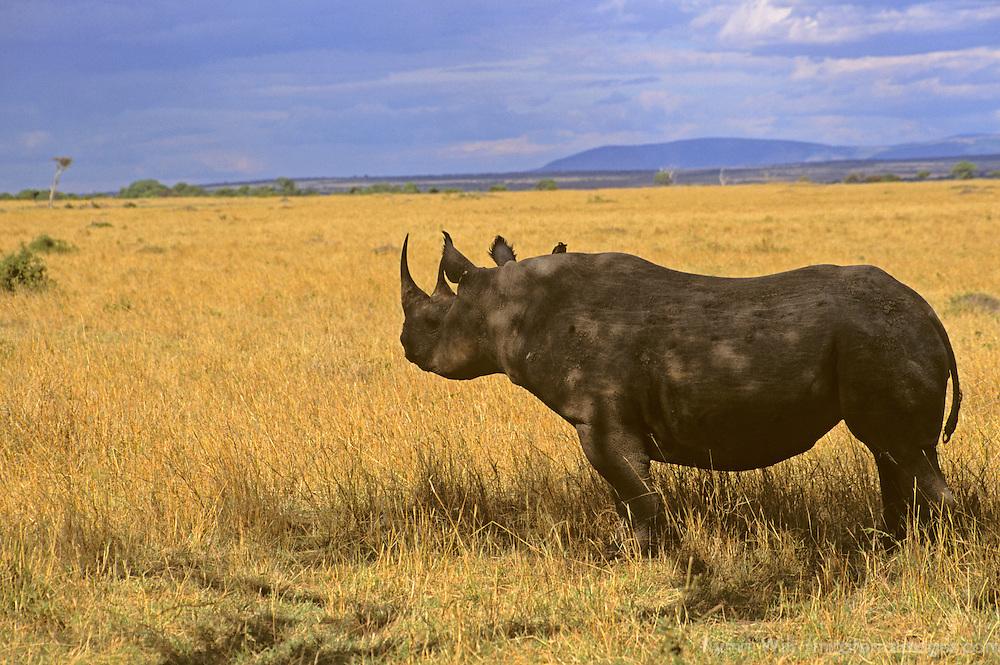 Africa, Kenya, Maasai Mara. A solitary black rhino in the vast Maasai Mara.