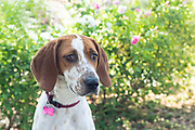 Portrait of a hound dog outside in a garden.