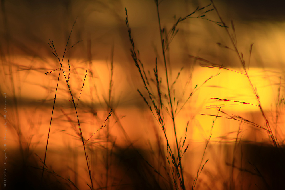 nature photography: grass seeds against a sunset bokeh
