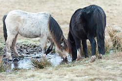 © Licensed to London News Pictures. 03/01/2019. Builth Wells, Powys, Wales, UK. Welsh Mountain Ponies drink from an icy pool in the freezing morning weather on the Mynydd Epynt moorland near Builth Wells in Powys, Wales, at approximately 400 metres above sea-level where temperatures were around minus one degree centigrade. Temperatures drop to freezing overnight in Powys, Wales, UK. credit: Graham M. Lawrence/LNP