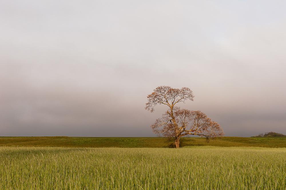 The Mattituck Oak<br /> Mattituck, Long Island