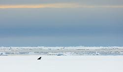 Common Minke whale (Balaenoptera acutorostrata) breathing throug a hole in the drifting ice near Spitsbergen, Svalbard