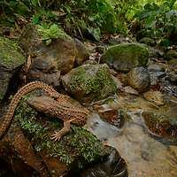 The Earless Monitor Lizard (Lanthanotus borneensis) is endemic to Borneo where it lives in rocky stream habitats in lowland rainforest. Because of its extreme rarity (it is known from only a few specimens), its life history remains unstudied. It is the only species within its entire family (Lanthanotidae) but it is related to the true monitor lizards (Varanidae). Captive