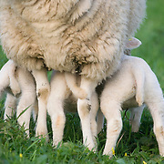 Nederland Barendrecht 5 april 2009 20090405 Foto: David Rozing ..3 jonge lammetjes drinken bij moeder schaap .in de wei, lente, lenteweer.Little lambs drinking feeing in field in springtime..Foto: David Rozing