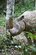 Sumatran Rhinoceros <br /> Dicerorhinus sumatrensis<br /> Muddy adult male rubbing horn against tree<br /> Sumatran Rhino Sanctuary, Way Kambas National Park, Indonesia<br /> *Critically Endangered<br /> *Captive
