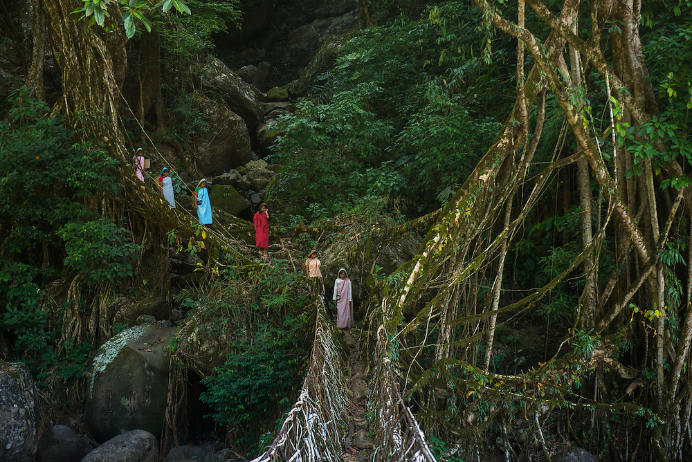 Living bridge or Root bridge (Ficus elastica) &amp; Khasi woman<br /> Khasi Tribe<br /> Nongriat, Khasi Hills<br /> Meghalaya, ne India<br /> Range: South China, NE India, Burma
