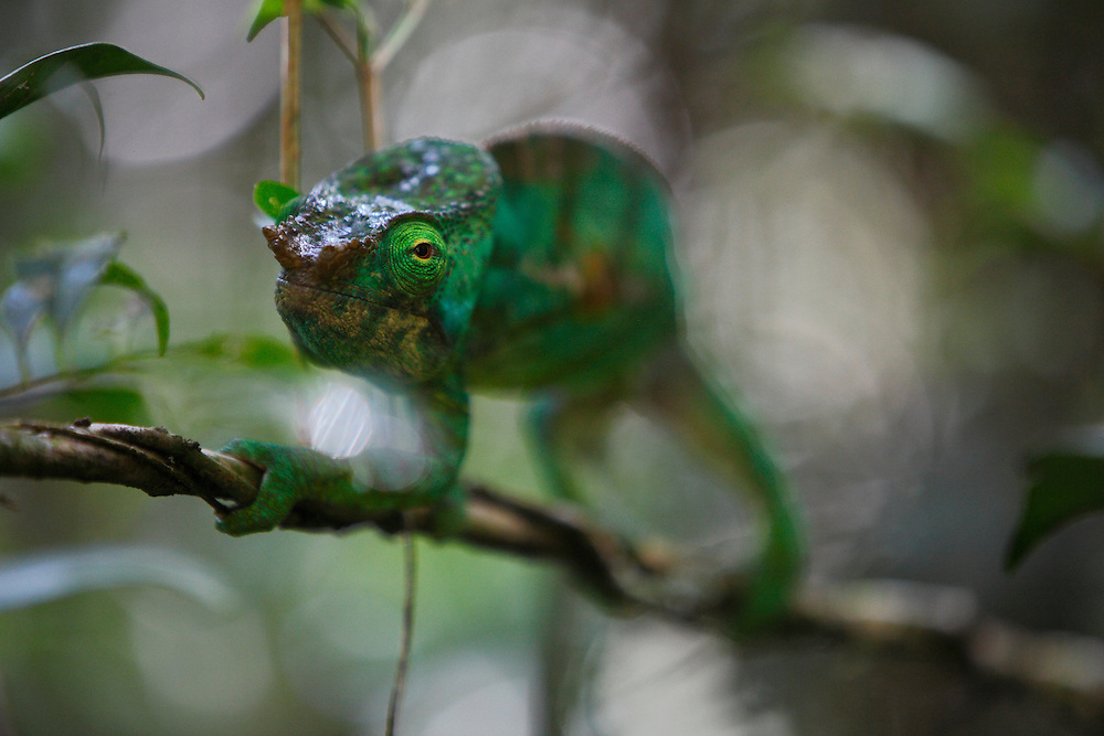 Chameleon in Analmayaotra Special Reserve Madagascar. September 2015.<br /> <br /> (Operation Smile Photo - Zute Lightfoot)