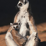 Ring-tailed Lemur (Lemur catta) adult and young. Madagascar