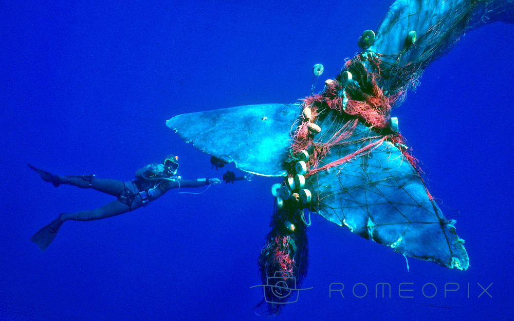 SPERM WHALE TRAPPED IN THE NET AT EOLIAN ISLANDS, MEDITERRANEAN SEA,