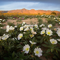 The Anza Borrego flowers that year in 2017 were incredible. The conditions couldn't be any better. I couldn't believe how green the Anza Borrego desert was and then seeing patches of color and flowers everywhere. I was trying to shoot some of the fragrant sand verbenas and then came across these white evening primroses. We were hurrying to get some shots before sunrise but the fun part was you'd keep sinking in the sand after stepping on rabbit holes. If you ever get a change to see the Anza Borrego wildflowers it's well worth it.