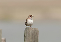 A Lark Sparrow fluffed up on a fence post this Sparrow feeds on insects and weed seeds.