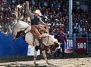 La monte de cheval sauvage avec selle.