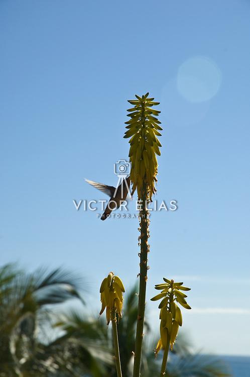 Hummigbird feeding. Cabo San Lucas, BCS. Mexico.