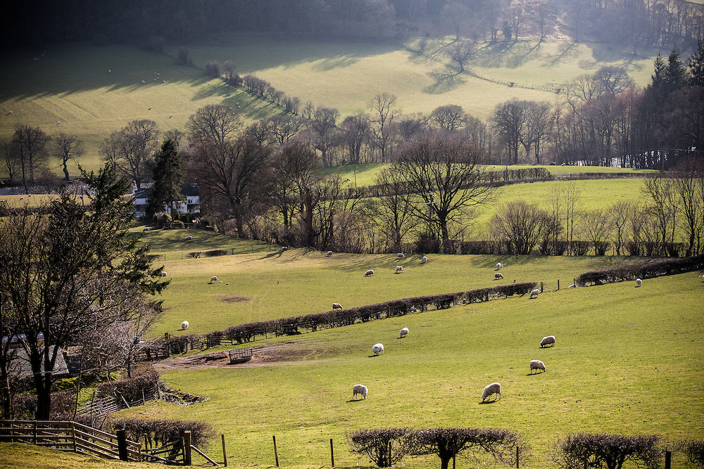 Fields in Llangollen, North Wales with grazing sheep