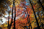 Fall colors in Harold Parker State Forest, Andover, Massachusetts