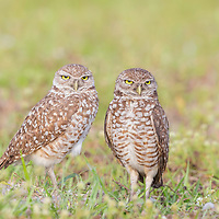 Burrowing owl (Athene cunicularia) pair outside their burrow nest in early morning.